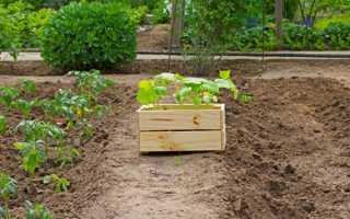 Можно ли выращивать капусту вместе с помидорами в теплице?