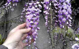 Как выращивать глицинию в домашних условиях из семян?
