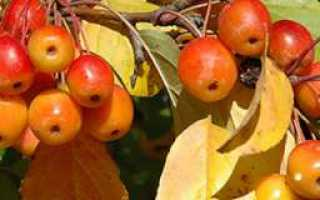 Лучшие сорта осенних яблонь