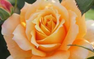 Лучшие сорта роз флорибунда