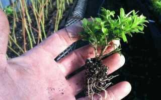Как выращивать самшит в домашних условиях?