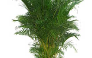 Как выращивать пальму в домашних?
