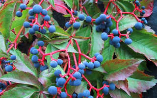 Можно ли выращивать виноград девичий в контейнере?