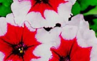 Лучшие сорта петунии кустовые