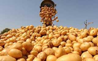 Лучшие поздние сорта картофеля