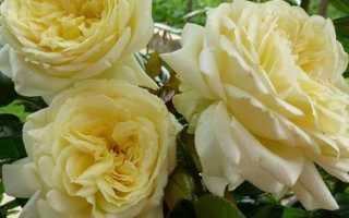 Выращиваем розы с алексеем степановым тема укрытие роз