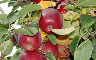Лучшие сорта яблонь подмосковье