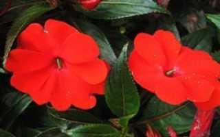 Бальзамин как выращивать в домашних условиях