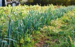 Как выращивать лук в домашних условиях порей?