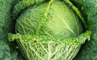 Как выращивать савойскую капусту в открытом грунте?