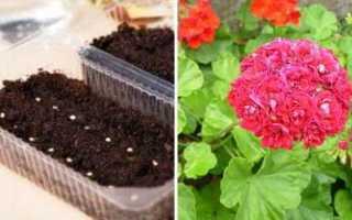 Как выращивать пеларгонию из семян в домашних условиях?