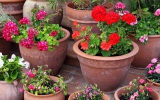 Какие садовые цветы можно выращивать в горшках на улице?