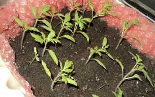 Как правильно выращивать в теплице помидоры зимой?