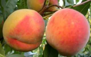 Лучшие сорта персиков на кубани