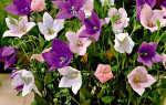 Можно ли платикодон выращивать как комнатное растение?
