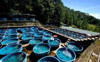 Как выращивать осетровых рыб домашних условиях?