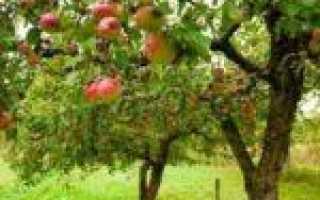 Хорошие сорта помидор низкорослые