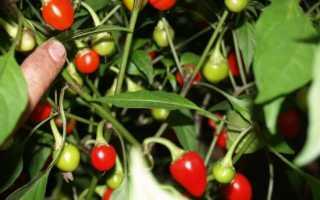 Как выращивать огонек в домашних условиях зимой?