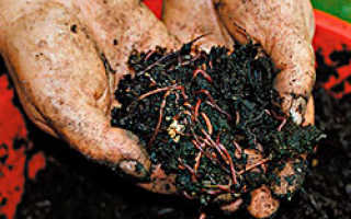 Как выращивать навозных червей в домашних условиях?