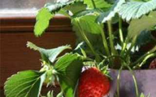 Как правильно выращивать клубнику на подоконнике?
