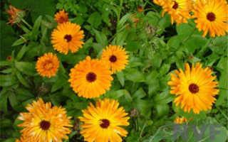 Можно ли календулу выращивать как комнатное растение?