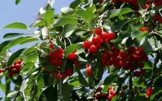 Лучшие новые сорта вишни