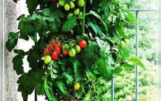 Пуговка помидоры как выращивать в какой горшочек посадить