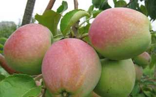 Лучшие сорта яблонь морозостойкие