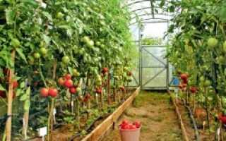 Лучшие сорта среднеплодных томатов