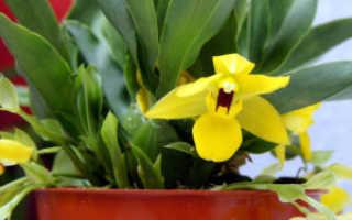 Виды и сорта орхидей выращиваемых в домашних условиях