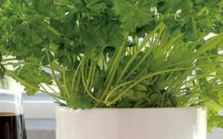 Как правильно выращивать петрушку в теплице зимой?