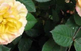Можно ли выращивать чайно гибридную розу в квартире?