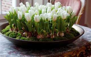 Как выращивать тюльпаны в домашних условиях на клумбе?