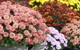 Как выращивать хризантемы в домашних?