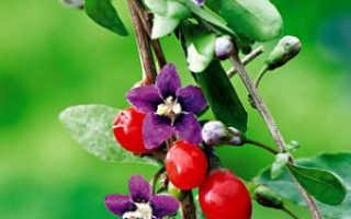 Годжи как выращивать в домашних