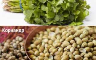 Как выращивать в домашних условиях кинзу?
