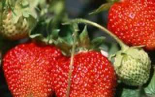 Какие сорта земляники лучше выращивать в подмосковье?