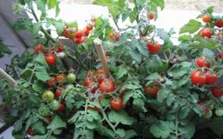 Как выращивать помидоры в домашних условиях на подоконнике?