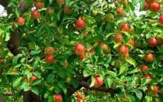 Как выращивать яблоню из семян в домашних условиях?