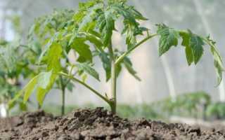 При какой температуре выращивать помидоры в теплице