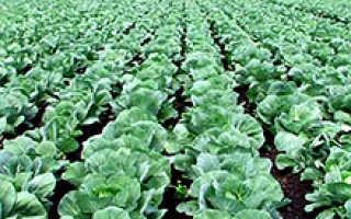 Как правильно выращивать капусту в открытом грунте?