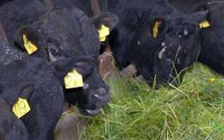 Выгодно ли выращивать бычков на мясо в домашних условиях