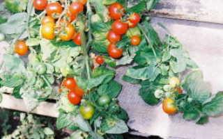 Какие сорта помидоров можно выращивать на балконе?