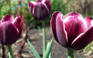 Лучшие сорта триумф тюльпанов