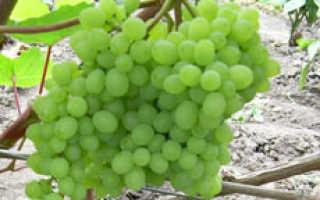 Лучшие сорта винограда кишмиша