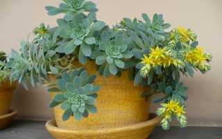 Можно ли выращивать очиток в домашних условиях?