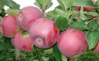 Лучшие сорта яблонь спартан