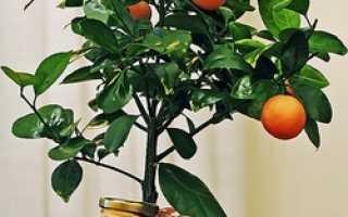 Как правильно выращивать апельсин в домашних условиях?
