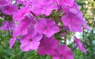 Можно ли флоксы выращивать как комнатное растение?
