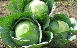 Лучшие сорта озимой капусты